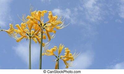 Golden spider lily flowers - Bright golden spider lily...