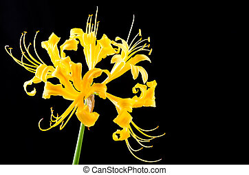Golden spider lily flower on black background