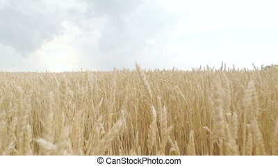 golden spikelets of wheat in field are ready for harvesting. Camera moves forward and up