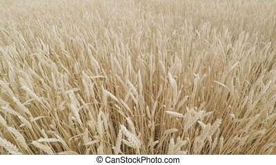 golden spikelets of wheat in field are ready for harvesting. view from above