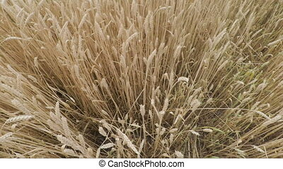 golden spikelets of wheat in field are ready for harvesting. Top view panorama