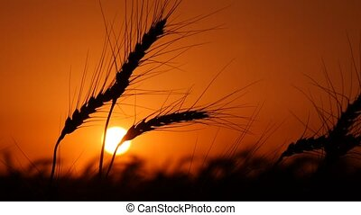 Golden spikes of wheat are shivering in the twilights of sunset in summer in Ukraine