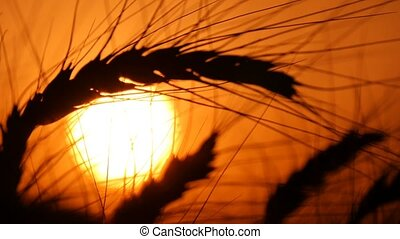 Golden spikes of wheat are waving in the twilights of sunset in summer in Ukraine