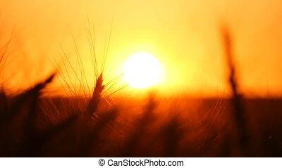 Golden spikes of wheat are whispering in the rays of  splendid sunset in Ukraine