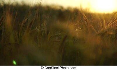 Golden spikes on summer sunset field. Steadicam shallow...