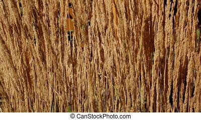 Golden stems dry grass moving background closeup