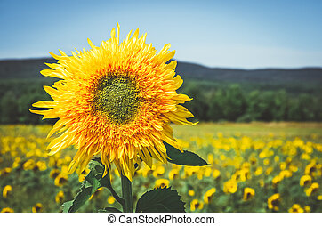 Golden sunflower in the sunny field