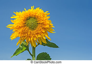 Golden sunflower under blue sky