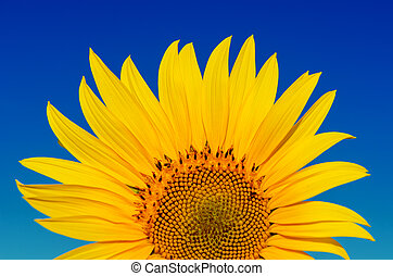 golden sunflower under deep blue sky