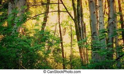 Golden Sunlight In Evening Woodland - Beautiful sunset light...