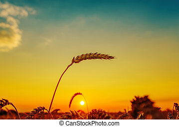 golden sunset over field with harvest