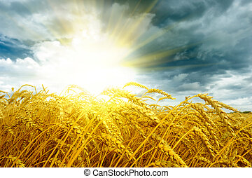 Golden sunset over wheat field at summer time