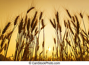 Golden sunset over wheat field in summer
