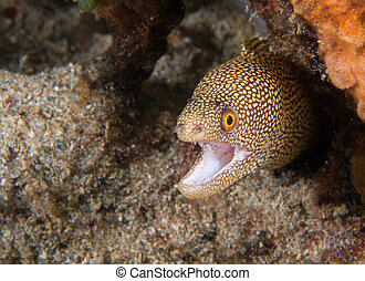 Golden Tail Moray Eel on a reef - Images obtained in south ...