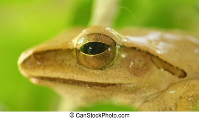 Golden Tree Frog Macro Head And Eye Static Close Up Cute