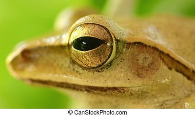 Golden Tree Frog Macro Head And Eye Static Close Up