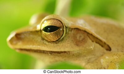Golden Tree Frog Macro Head And Eye Static Close Up - Golden...