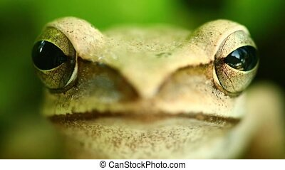 Golden Tree Frog Macro Head And Eyes Portrait Close Up -...
