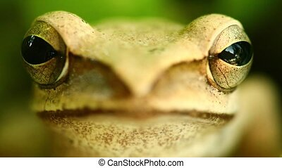 Golden Tree Frog Macro Head And Eyes Portrait Close Up