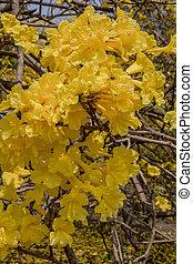 Golden Tree , Tallow Pui ,Tabeduia chrysantha (Jacq.)Nichols.