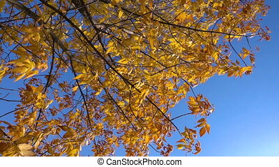 Golden tree with yellow leaves moving against blue sky