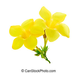 Golden trumpet, Allamanda, flower isolated on white
