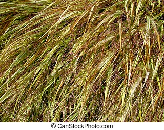 Golden-variegated Japanese forest grass background