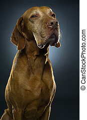 golden vizsla dark tone portrait