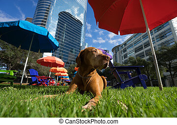 golden vizsla dog laying in grass in Houston downtown