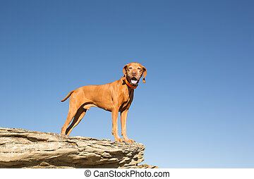 golden vizsla dog standing on clff outdoors