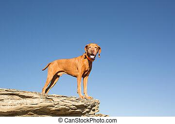 golden vizsla dog standing on clff outdoors