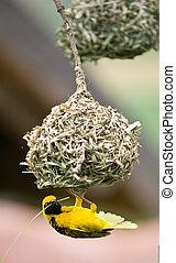 Golden weaver bird building nest