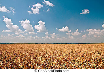 Golden wheat against blue sky and white clouds