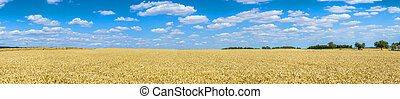 Golden wheat against blue sky background