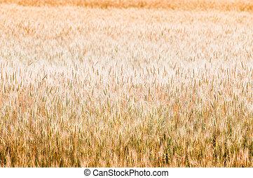 Beautiful golden wheat background, selective focus