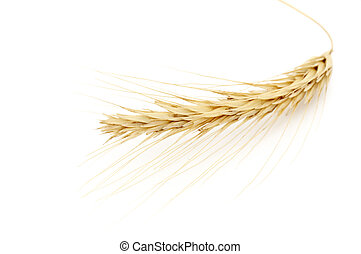 Golden Wheat - bunch of golden wheat isolated on white ...