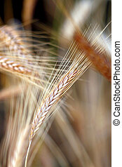 Golden wheat close up