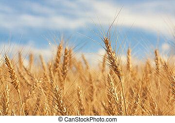 Golden Wheat Close-up - Macro of a piece of wheat amongst...
