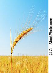 golden wheat ear closeup on field