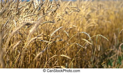 Wheat ears on light wind at sunny day. Golden wheat field at summer day.