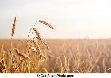 Golden wheat ears in the foreground with blurred background field at sunset, harvest, bread,