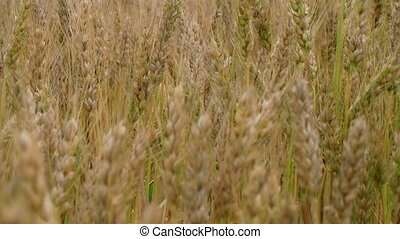 Golden Wheat Field 02
