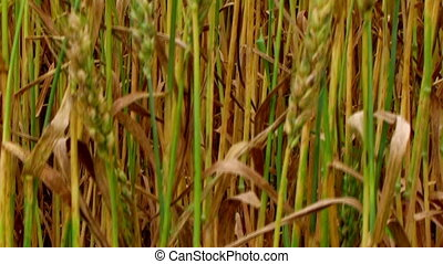 Golden Wheat Field 03