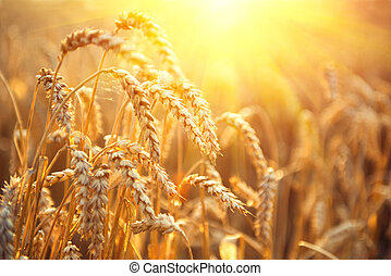 Golden wheat field. Ears of wheat closeup. Harvest concept