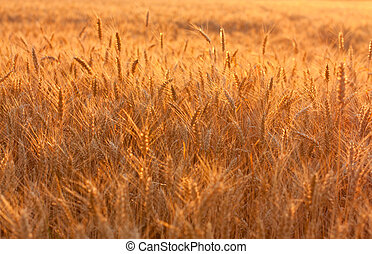 Golden wheat field in evening sunlight