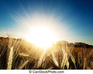 Golden wheat field in summer against the sun