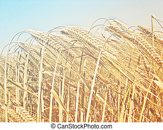 Golden wheat field on a sunny day