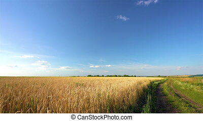 Golden wheat field over blue sky at sunny day. - Rural ...