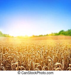Golden Wheat Field - A wheat field, fresh crop of wheat.