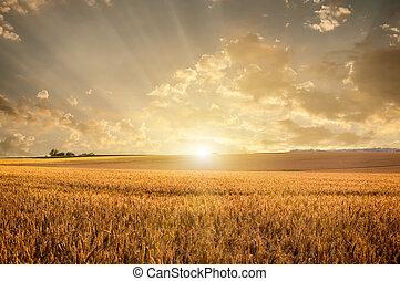 Golden wheat field on sunset
